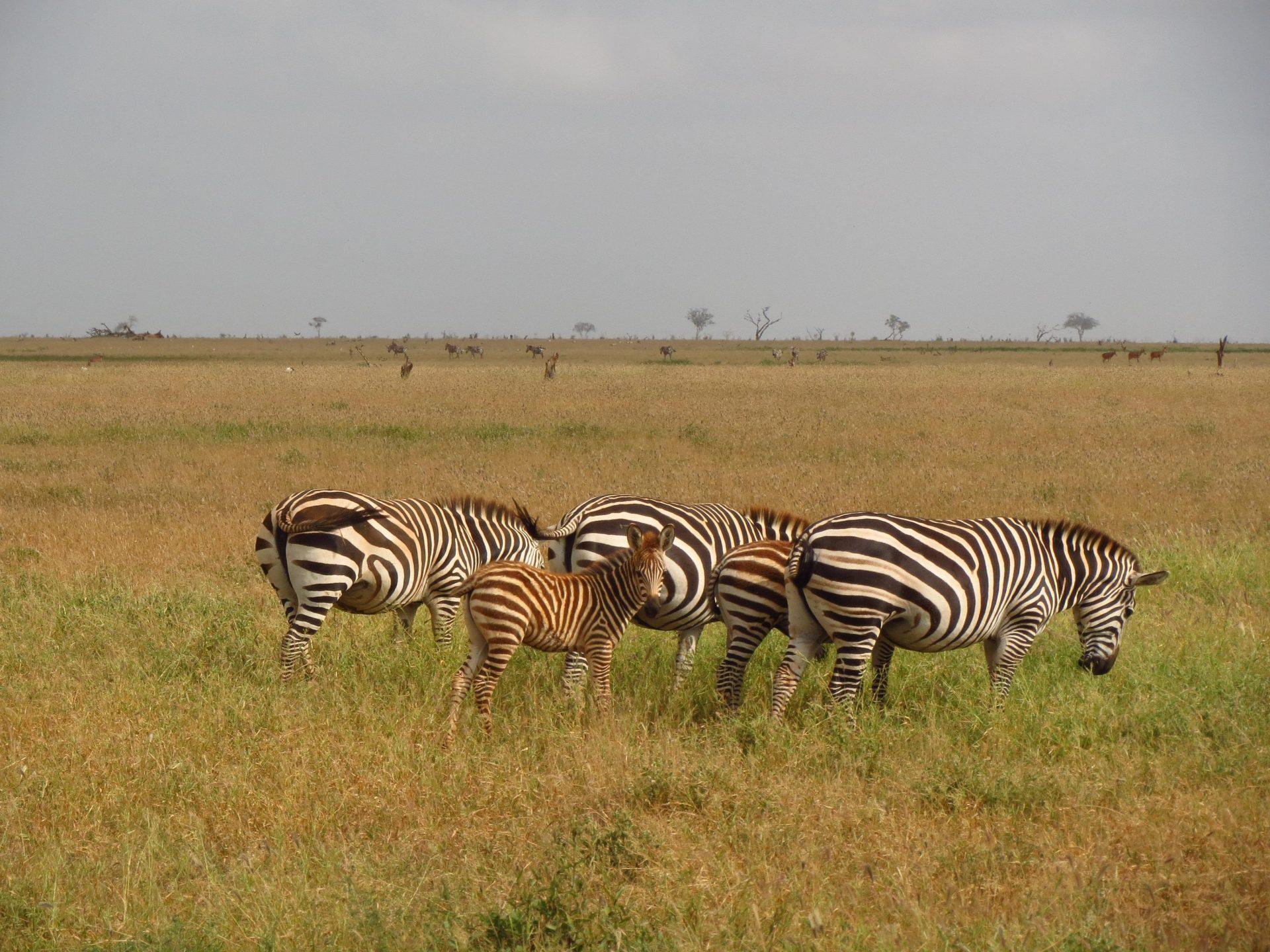 Safari v nacionalnem parku Tsavo east