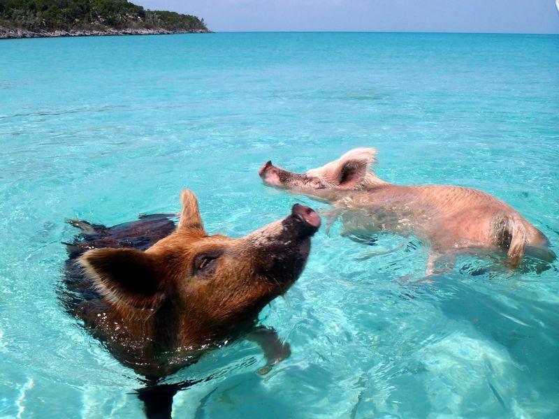 top sup destinacije-bahamas-swimming_pigs