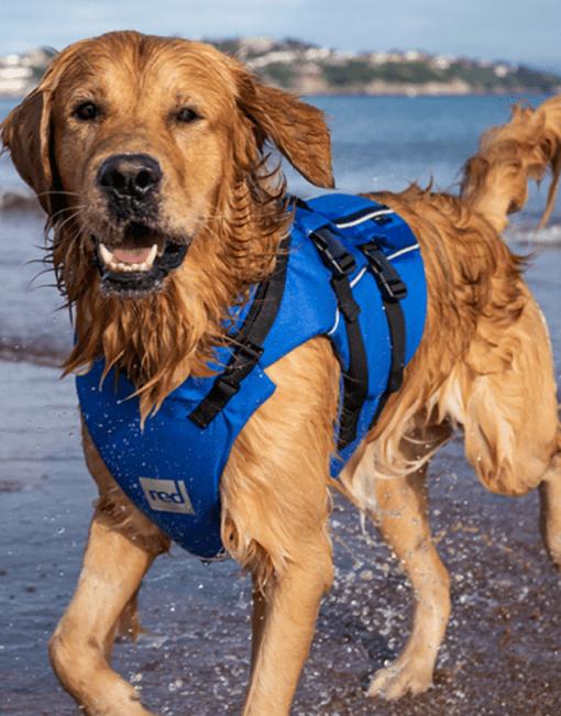 Zlati prinašalec v modrem plavalnem jopiču za psa