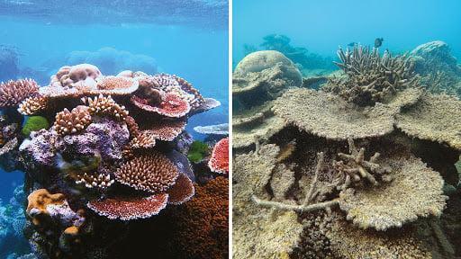 Živ in mrtev koralni greben